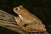 White-lipped Bright-eyed Frog (Boophis albilabris ; synonyme : Rhacophorus albilabris), Andasibe (Périnet), Région Alaotra-Mangoro, Madagascar