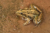 Mascarene Grass Frog (Ptychadena mascareniensis) on the edge of a rice field, Andasibe (Périnet), Alaotra-Mangoro Region, Madagascar