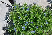 Gromwell (Lithospernum gastonii) in grassy rocks, Subalpine and Montain stage, Endemic to the Pyrenees, France