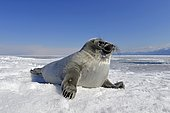 Baikal seal (Pusa sibirica, Phoca sibirica), offspring, freshwater seal lying on the ice, frozen lake Baikal, Siberia, Russia, Europe