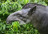 South American tapir (Tapirus terrestris), female, eating, Amazon rainforest, Yasuni National Park, Ecuador, South America