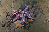 Many Northern Pacific Seastars or Japanese Common Starfish (Asterias amurensis), Sea of Japan, Primorsky Krai, Russian Federation