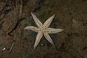 Genetical mutation, Starfish (Distolasterias nipon) with six-rays instead of a five-rays, Sea of Japan, Primorsky Krai, Russian Federation