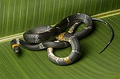 Tschudi's false coral snake (Oxyrhopus melanogenys), Amazon rainforest, Yasuni National Park, Ecuador, South America