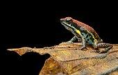 Sanguine poison frog or Zaparo's poison frog (Allobates zaparo), Amazon rainforest, Yasuni National Park, Ecuador, South America