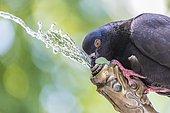 A pigeon drinking water at a fountain, Zürich, Switzerland, Europe