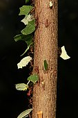 Leafcutter ants (Atta sexdens) transporting cut leaves, found in Central and South America, captive