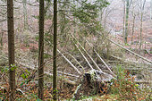 Norway spruce uprooted following a gale in winter, Moselle, France