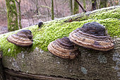 True tinder polypore (Fomes fomentarius) on a beech trunk, Moselle, France