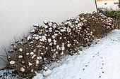 Faded hydrangeas under snow in winter, Pas de Calais, France