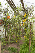 """Tomatoes 'Roman candle' and red """"Andean horned"""" in a greenhouse in autumn, Moselle, France"""