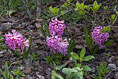 Hyacinth in bloom in a flowerbed in spring, Pas de Calais, France