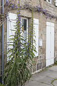 Vipersbugloss (Echium sp) and Wisteria (Wisteria sp) in bloom on a house facade in spring, Cotentin, France