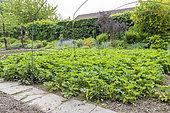Strawberry plants in bloom in a garden in spring, Pas de Calais, France