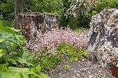 Saxifrage des ombrages (Saxifraga umbrosa) en fleurs au printemps, Pas de Calais, France