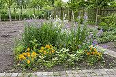 Monnaie du pape (Lunaria sp) et Giroflée (Erysimum sp) en fleurs dans un jardin au printemps, Pas de Calais, France