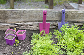 Flat parsley and flower buckets in a wooden tray in spring, Pas de Calais, France
