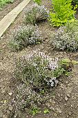 Thyme (Thymus vulgaris) in bloom in a garden in spring, Pas de Calais, France