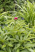 Peony (Paeonia sp) in bloom in a garden, Pas de Calais, France