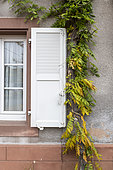 Wisteria (Wisteria sp) climbing on a house facade in autumn, Moselle, France