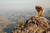 Gelada (Theropithecus gelada) on rock looking at the valley, Siemen Mountains, Ethiopia