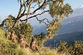 Gelada (Theropithecus gelada) group warming at dawn, Siemen Mountains, Ethiopia