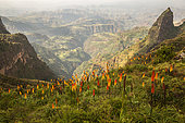 Torch Lily (Kniphofia foliosa), spectacular flowering on the highlands at 3500 meters above sea level, Simien mountains, Ethiopia