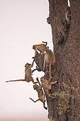 Chacma baboon (Papio ursinus) young playing on a tree, Botswana