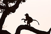 Chacma baboon (Papio ursinus) young on a tree at dusk, Botswana