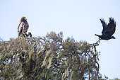 Thick-billed Raven (Corvus crassirostris) and Tawny Eagle (Aquila rapax) on a tree, Simien mountain, Ethiopia