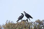 Thick-billed Raven (Corvus crassirostris) faithful couple on a tree, Simien mountain, Ethiopia