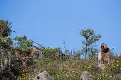 Gelada (Theropithecus gelada), Siemen Mountains, Ethiopia