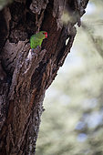 Black-winged Lovebird (Agapornis taranta) in the hollow of an acacia, Rift Valley, Ethiopia
