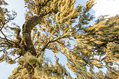 Tree heather covered with lichens, Siemen Mountains, Ethiopia