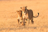 African lion (Panthera leo) lioness and lion cubs in the savannah, Botswana