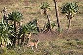 Simian jackal (Canis simensis), Simien mountains, Ethiopia