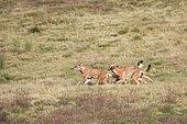 Simian jackal (Canis simensis) group, Simien mountains, Ethiopia