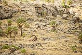 Bouquetin d'Abyssinie (Capra walie) mâle au repos, Hauts plateaux à 4000 mètres d'altitude, Simien mountains, Ethiopie