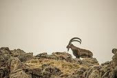 Walia Ibex (Capra walie) male on rocks, Highlands at 4000 meters altitude, Simien mountains, Ethiopia