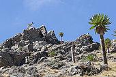 Walia Ibex (Capra walie) female on rocks, Highlands at 4000 meters altitude, Simien mountains, Ethiopia