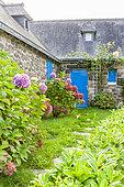 Hydrangeas, Penty, Péninsule de Crozon, Finistère, France