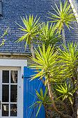 Yuccas, Lesteven, Péninsule de Crozon, Finistère, France