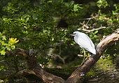 Little egret (Egretta garzetta) perched on a branch, England