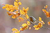Robin (Erithacus rubecula) perched amongst coloured leaves, England