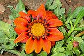 Gazania (Gazania rigens) flower, New Caledonia
