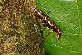Longhorn Beetle (Nemaschema kudrnai) on trunk, New Caledonia