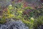 Pacific Bushcane (Flagellaria neocaledonica), mining scrub, New Caledonia