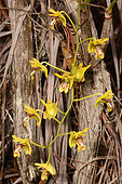 Niaouli orchid (Dendrobium closterium) flowers, Mont Dore, New Caledonia