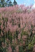 Molasses grass (Melinis minutiflora), invasive species, Hienghene, New Caledonia