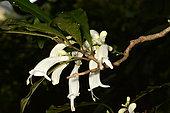 Oxera (Oxera brevicalyx) flowers, Sarraméa, New Caledonia